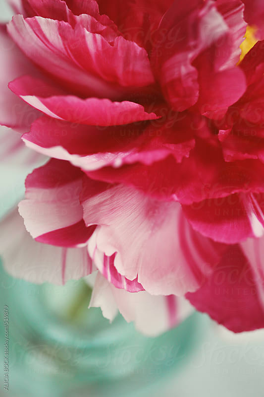 Petals Of A Multicolored Peony Flower by ALICIA BOCK for Stocksy United