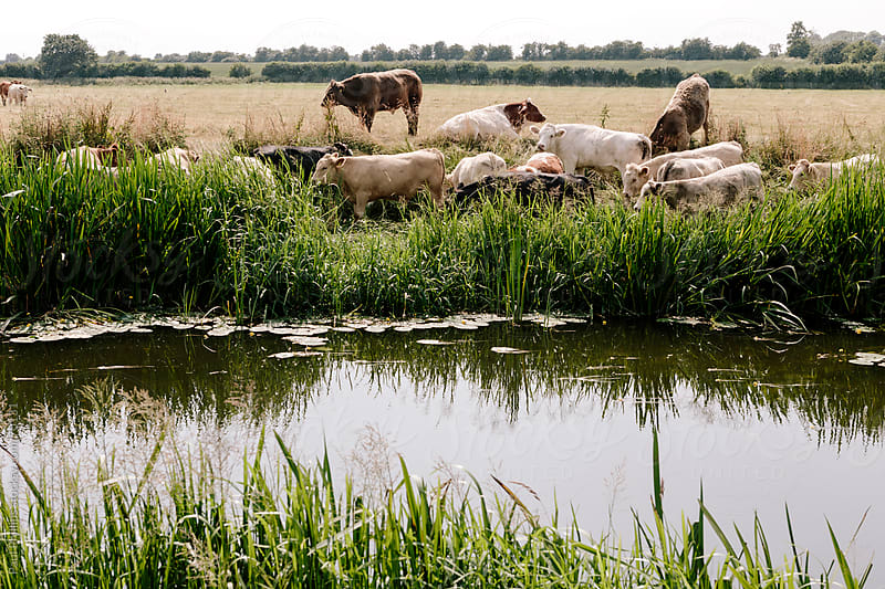 Heard of cows drinking from a river by Paul Phillips for Stocksy United