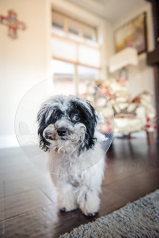 Dog With Elizabethan Collar After Gettting Fixed by Ronnie Comeau for Stocksy United
