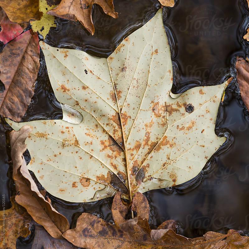Leaf floating on water by Adam Nixon for Stocksy United