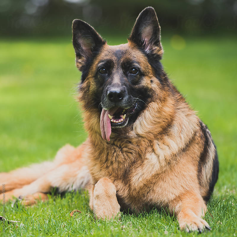German Shepherd dog tongue sticking out the side of her mouth by Jen Grantham for Stocksy United
