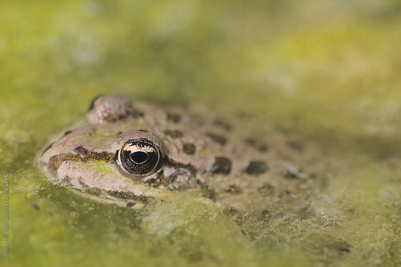 Frog in a pond full of algae by Jovana Milanko for Stocksy United
