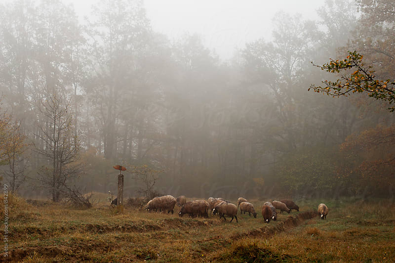 Herd of sheep by Svetlana Shchemeleva for Stocksy United