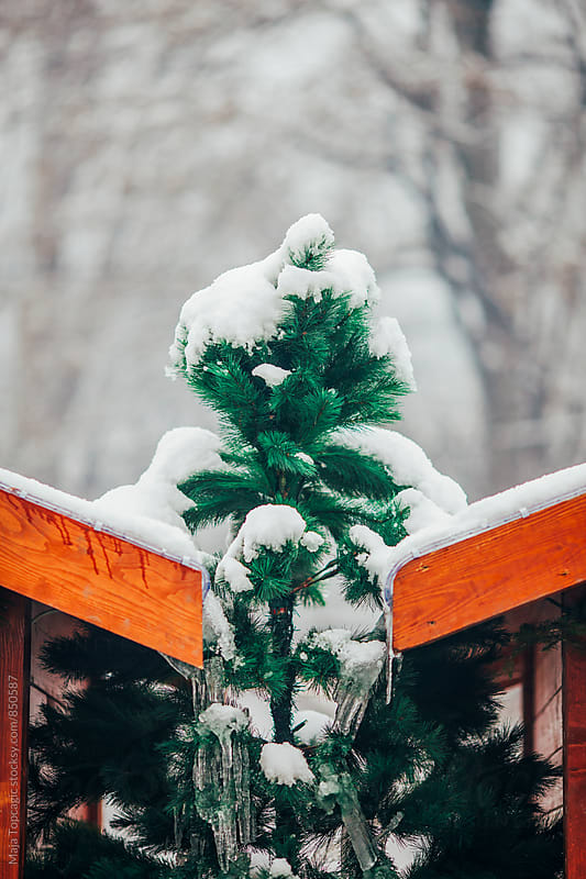 Christmas tree covered in snow and icicles by Maja Topcagic for Stocksy United