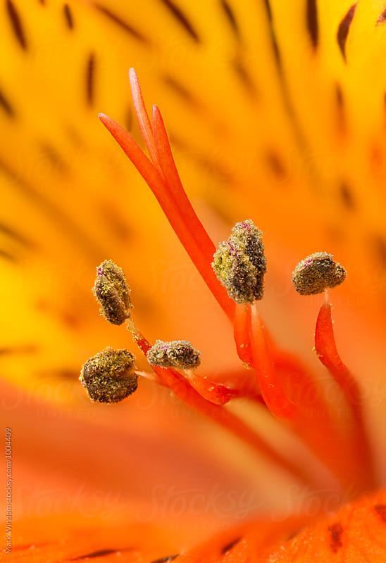 Alstroemeria, macro by Mark Windom for Stocksy United