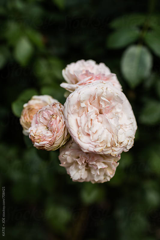 bunch of light pink roses  by KATIE + JOE for Stocksy United