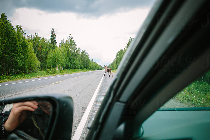 A Mother Moose Crosses A Street In The Distance On A Forest Highway by Luke Mattson for Stocksy United