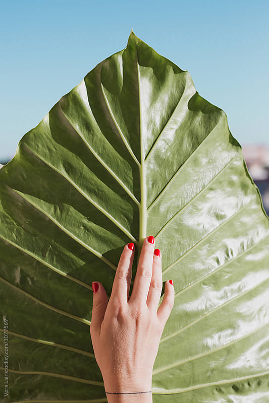 Female hand with red nails on big green leaf by Vera Lair for Stocksy United
