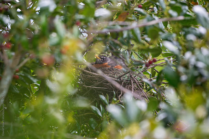 Robin sitting on her nest which is hidden in a shrub by David Smart for Stocksy United