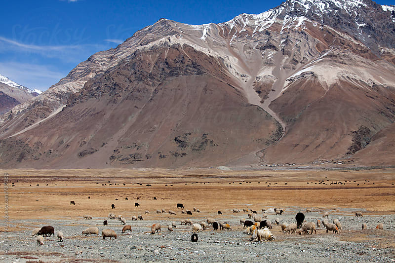 Animals grazing in the Ladakh,India by PARTHA PAL for Stocksy United