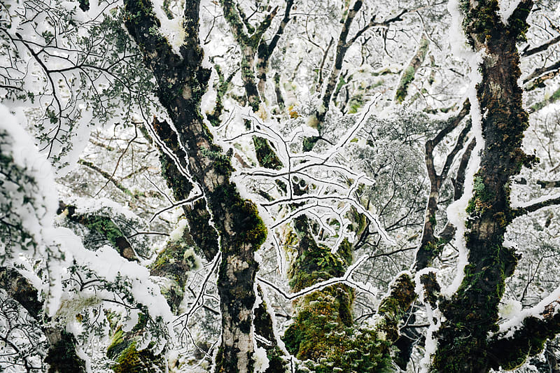 snow covered branches by Cameron Zegers for Stocksy United