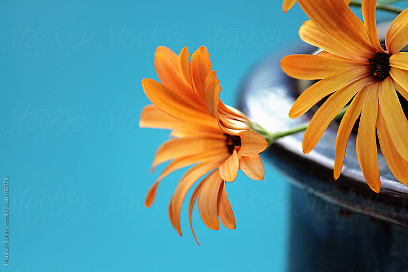 Bright orange flowers on blue background by Monica Murphy for Stocksy United