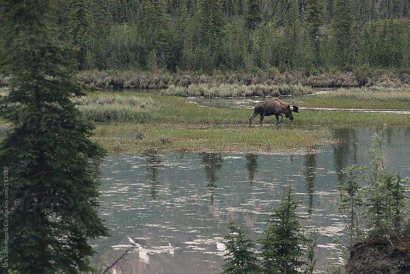 Elk  by Urs Siedentop & Co for Stocksy United