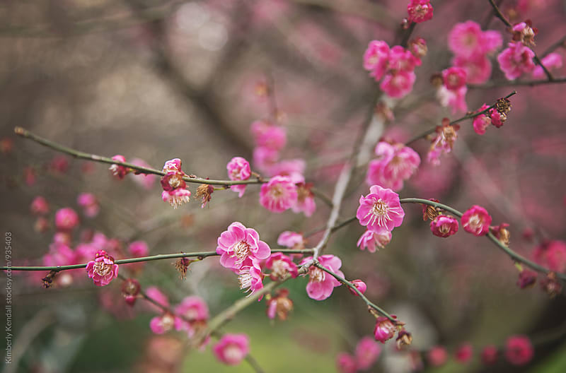 Pink plum blossoms in Spring by Kimberly Kendall for Stocksy United
