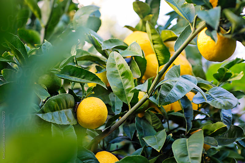 Lemons Growing on a Tree by Kim Lucian for Stocksy United