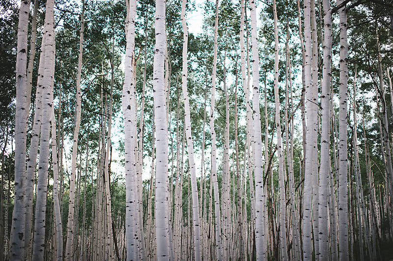 Glowing Aspens by Beth Johnston for Stocksy United