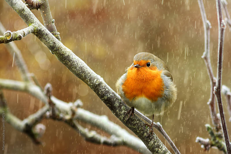 Red robin in a tree during snowfall by Marcel for Stocksy United