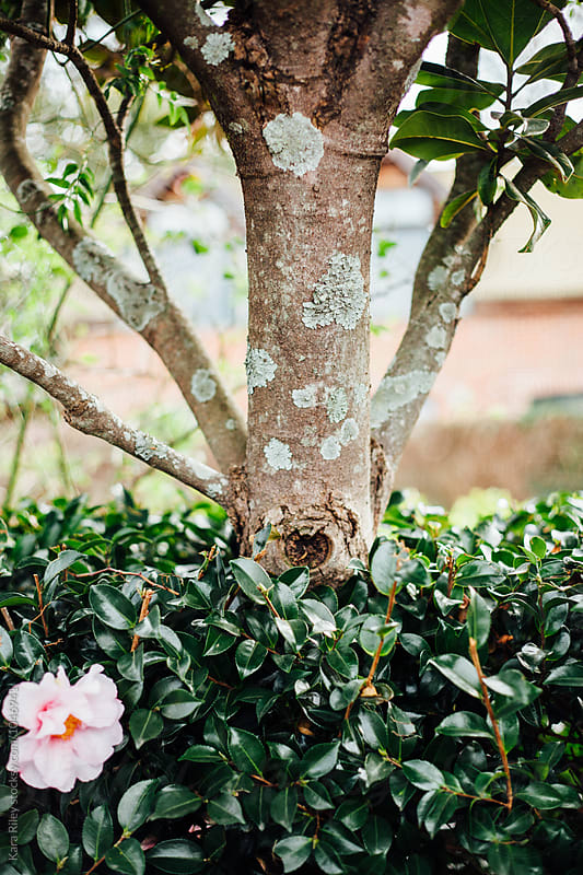 Tree with Lichen behind camellia bush by Kara Riley for Stocksy United