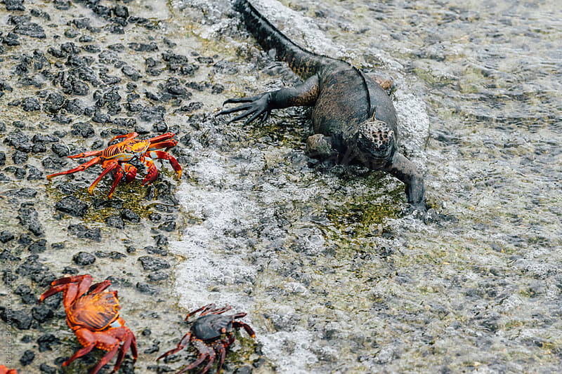 Galapagos Marine Iguana by Richard Brown for Stocksy United