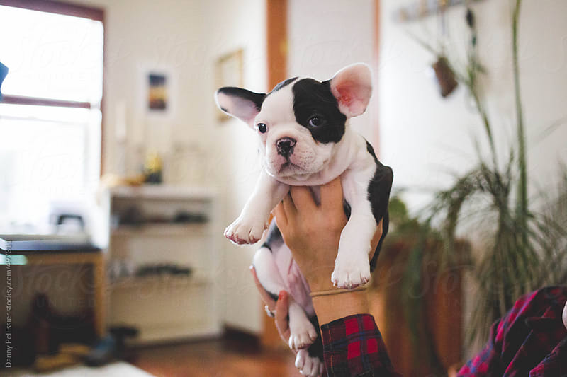 Baby puppy by Danny Pellissier for Stocksy United