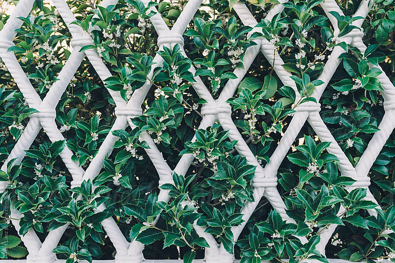 Close-up of beautiful white fence decorated with plants by Trent Lanz for Stocksy United