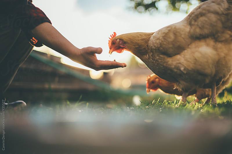 Chickens by Camrin Dengel for Stocksy United