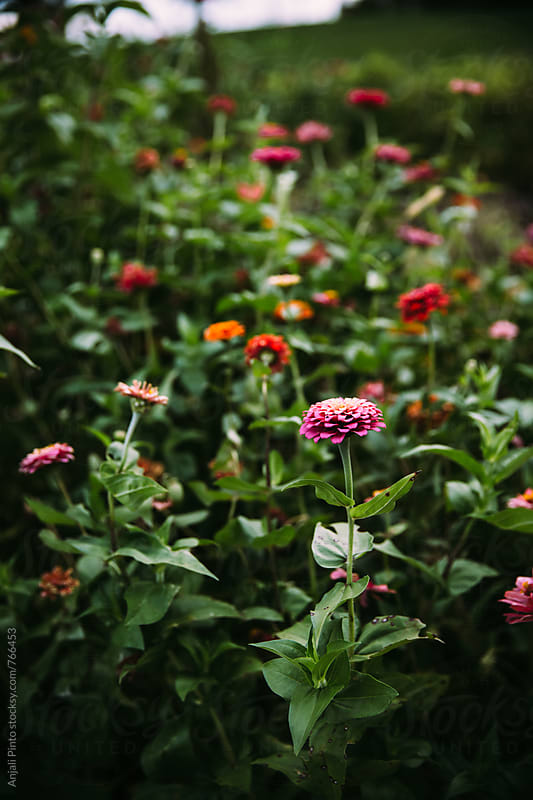 Zinnias in a garden by Anjali Pinto for Stocksy United