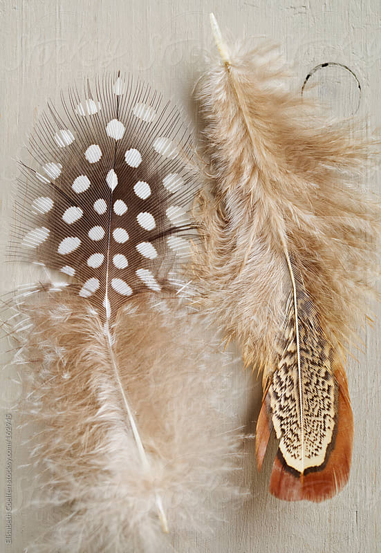 Feather of guinea fowl and chicken feather by Elisabeth Coelfen for Stocksy United