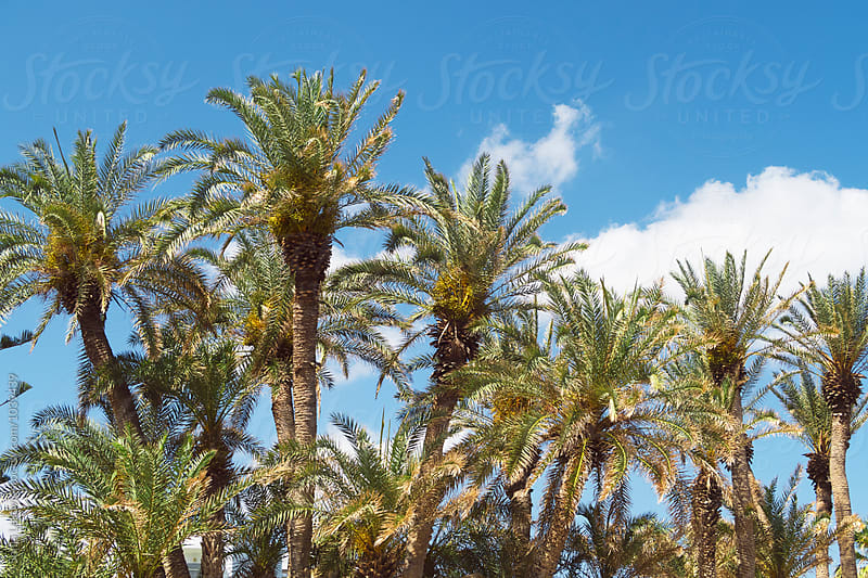 palm trees and blues sky by Sonja Lekovic for Stocksy United