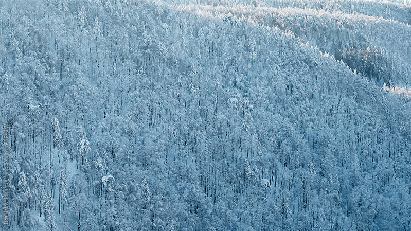 Coniferous Forest Covered with Snow by Branislav Jovanović for Stocksy United