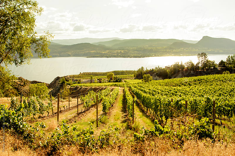 summer vineyard at lake  by Tomas Kraus for Stocksy United