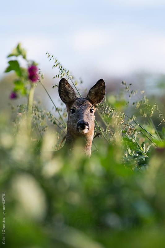 Deer by Gabriel Ozon for Stocksy United
