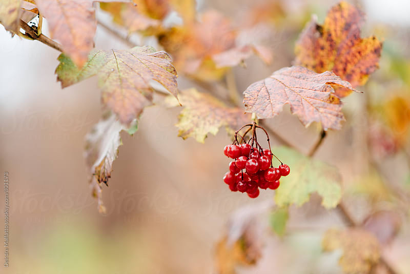 berries with autumn leaves by Deirdre Malfatto for Stocksy United
