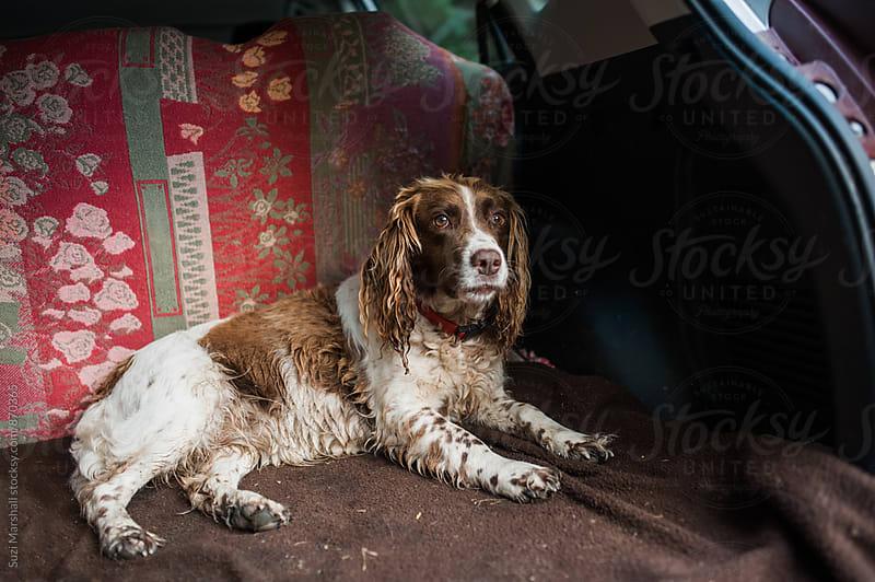 springer spaniel dog sitting in the boot of a car after going for a walk by Suzi Marshall for Stocksy United