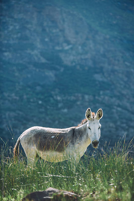 portrait of a donkey in a field with mountains in the background by Micky Wiswedel for Stocksy United
