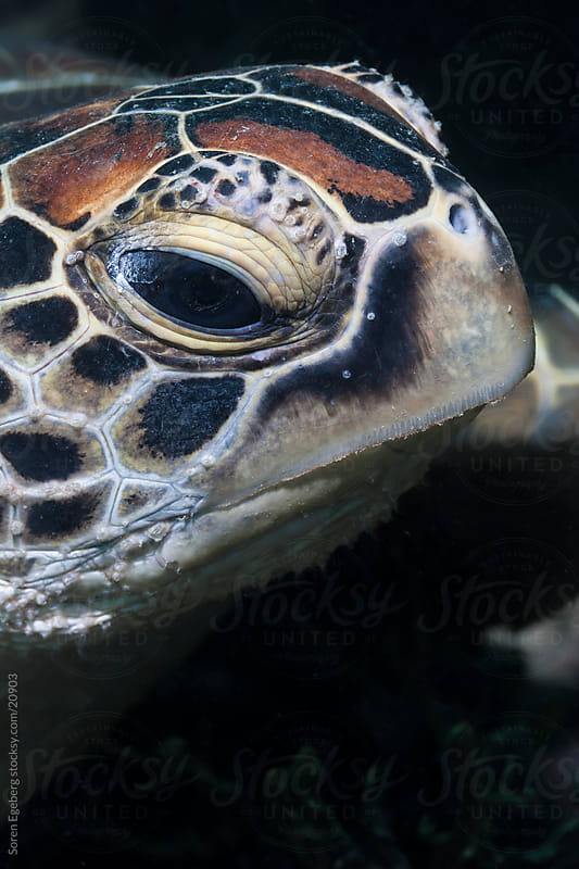 Closeup portrait of Green Sea turtle  in the ocean underwater in Malaysia by Soren Egeberg for Stocksy United