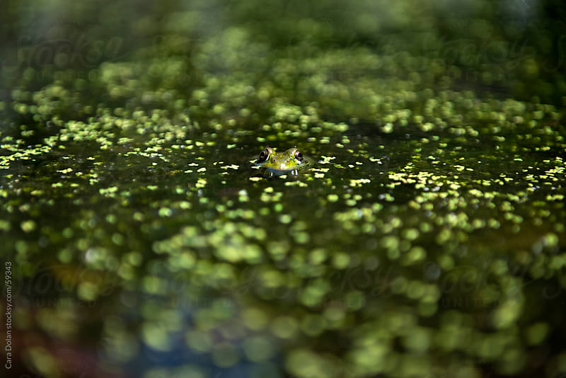 A frog peers just above the surface of a pond by Cara Slifka for Stocksy United
