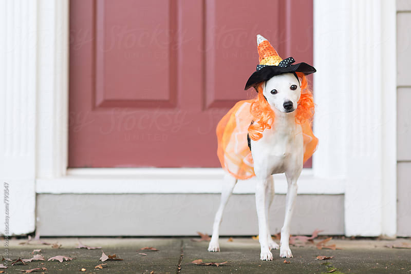 Little white dog dressed in a witch's costume. by Melissa Ross for Stocksy United