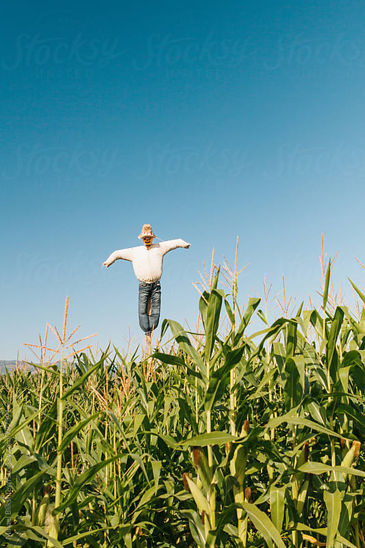 Vertical view of a scarecrow in a corn field by Mihael Blikshteyn for Stocksy United