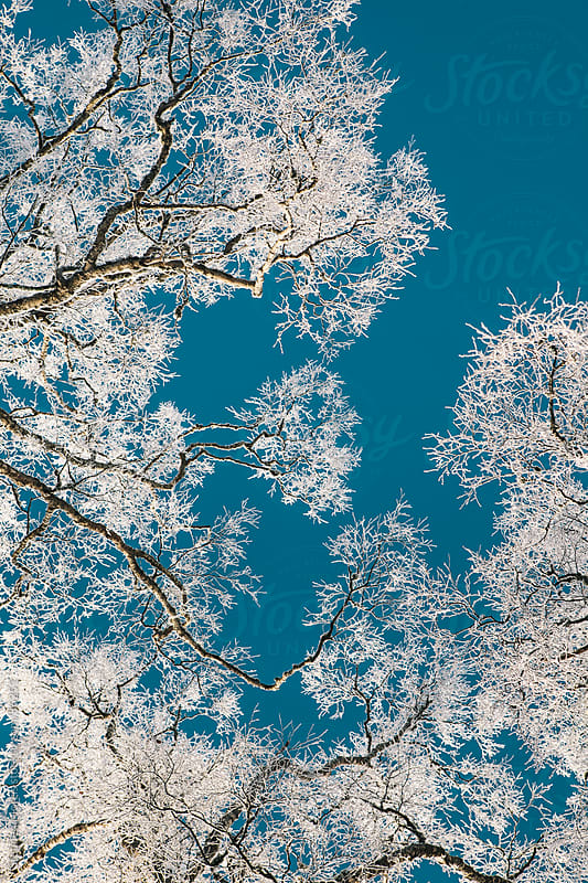 Snowy Tree Branches Against Sky by Stephen Morris for Stocksy United