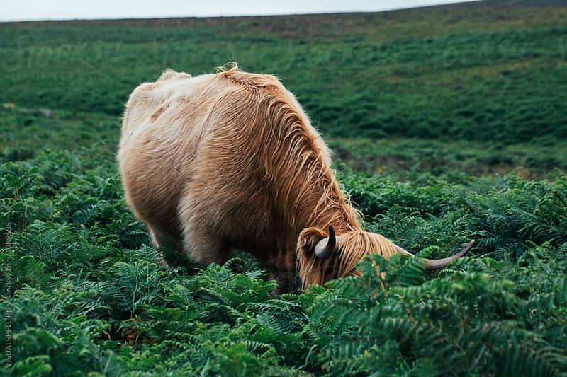 Highland Cattle Grazing Fern by Julien L. Balmer for Stocksy United