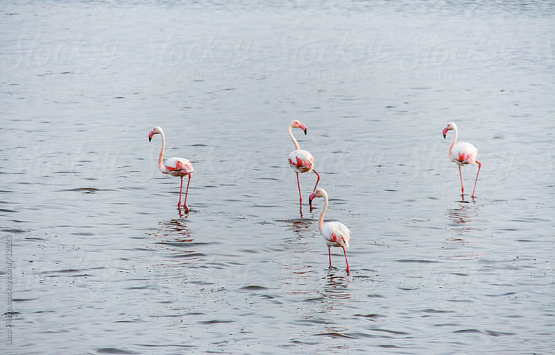 Group of flamingos by Luca Pierro for Stocksy United