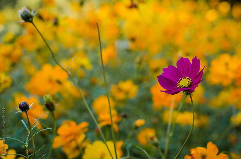 Purple Cosmos In Field of Orange by Leslie Taylor for Stocksy United