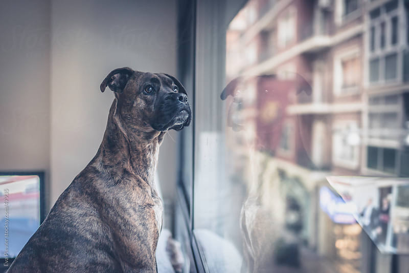 Curious dog looking through window by Eva Plevier for Stocksy United