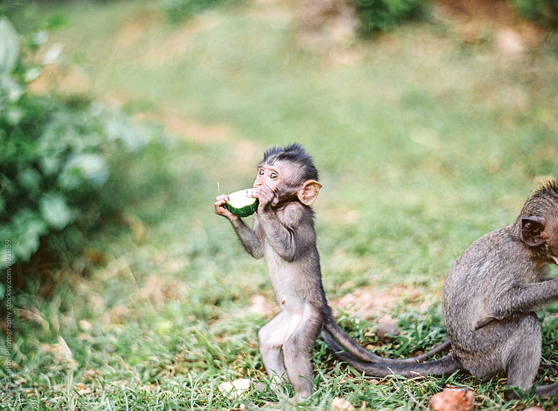 Baby monkey in Ubud Bali by Vicki Grafton Photography for Stocksy United