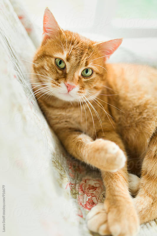Ginger cat with green eyes looks straight at the camera, close up by Laura Stolfi for Stocksy United