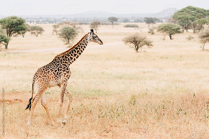 giraffe walking through grassland in Tanzania by Cameron Zegers for Stocksy United