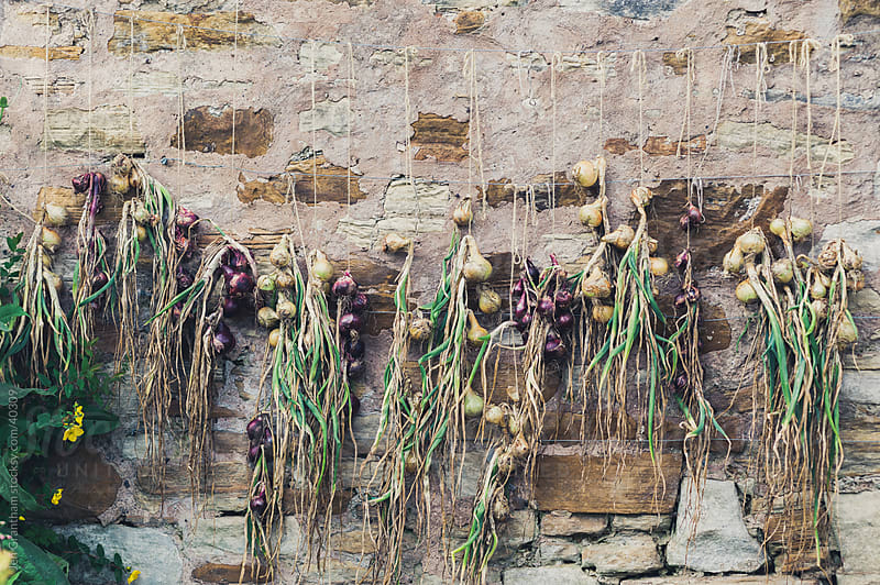 Onions hanging on the wall to dry. by Jen Grantham for Stocksy United