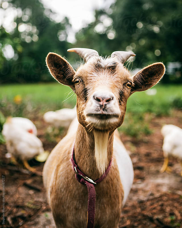 Goat in Barnyard by Stephen Morris for Stocksy United