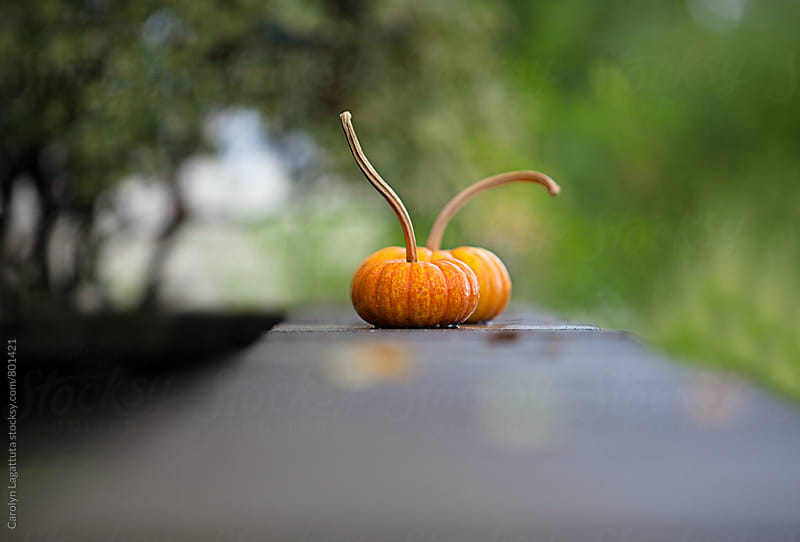 Two small and perfect pumpkins with long stems by Carolyn Lagattuta for Stocksy United